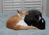 nah (rootcrop54) Tags: threecats three otis dilute orange ginger tabby buff male tina tuxedo female cousin sleeping together huddle catpile togetherness neko macska kedi 猫 kočka kissa γάτα köttur kucing gatto 고양이 kaķis katė katt katze katzen kot кошка mačka gatos maček kitteh chat ネコ