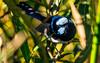 Superb blue fairy wren (AWLancaster) Tags: closeup animals wildlife blue feathers pretty wetlands shepparton sigma sony birding birds fauna amazing lakevictoria