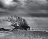 Tree in the wind (Tim Ravenscroft) Tags: tree wind shape beach exmouth england monochrome blackandwhite blackwhite hasselblad hasselbladx1d x1d