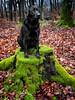wood mouse (uwe.kast) Tags: labrador labradorretriever labradorredriver hund haustier dog wood wald bichou black bäume moos canon canon750d