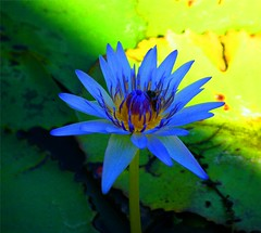Blue Waterlily (Stanley Zimny (Thank You for 32 Million views)) Tags: fiji travel waterlily blue lily botanical garden