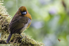 Prong-billed Barbet (fernaabs) Tags: prongbilled barbet semnornis frantzii cocora barbudococora piciformes semnornithidae aves fernaabs burgalin avesdecostarica