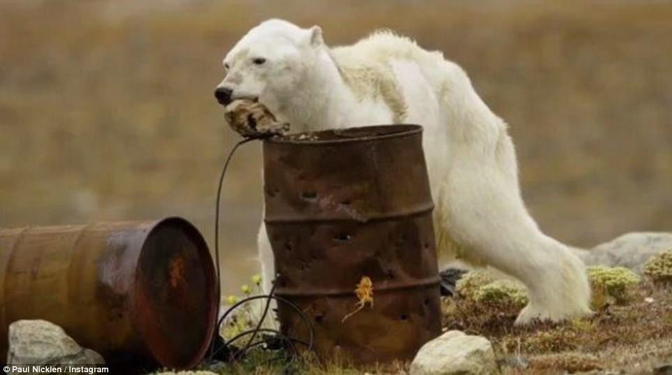 Gấu Bắc cực gầy dơ xương lê lết kiếm ăn vì đói - lời cảnh tỉnh đáng sợ với con người về biến đổi khí hậu - Ảnh 3.