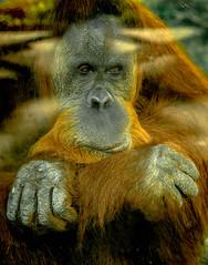 The thinker (raylincoln1) Tags: sony a65 orangutan primates audubon zoo new orleans louisiana