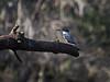 The elusive Kingfisher (tfhammar) Tags: kingfisher bird hillsborough river kayaking tampa