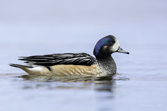 The one that almost escaped me - Chiloe Wigeon (Chantal Jacques Photography) Tags: chiloewigeon falklandislands wildandfree bokeh depthoffield