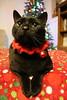 IMG_0881 (ScarletPeaches) Tags: furbabies furry animals critters pets domestic christmas 2017 kitty kitties feline americanshorthair tigre