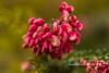 Grevillea (Anna Calvert Photography) Tags: grevillea australiannative native plant flowers australia floral nature canberrabotanicalgardens macro