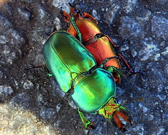THE BATTLE BETWEEN BEETLES (Lani Elliott) Tags: nature naturephotography lanielliott beetle christmasbeetles colour color colourful bright radiant glowing iridescent macro upclose close closeup bokeh lamprimaaurata awesome fantastic excellent wow gorgeous superb