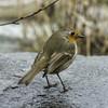 European Robin (Jack Heald) Tags: europeanrobin bird balmaha scotland uk robin lochlomond nationalpark oaktree restaurant travel tourist tourism heald jack nikon rain wet trossachs