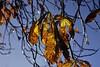 Herbstliches Laub einer Rosskastanie (Aesculus hippocastanum) in der Abendsonne; Bergenhusen, Stapelholm (9) (Chironius) Tags: stapelholm bergenhusen schleswigholstein deutschland germany allemagne alemania germania германия niemcy rosids malvids crossosomatales pimpernussgewächse staphyleaceae pimpernüsse staphylea kolchischepimpernuss staphyleacolchica baum bäume tree trees arbre дерево árbol arbres деревья árboles albero árvore ağaç boom träd gegenlicht herbst herfst autumn autunno efteråret otoño höst jesień осень