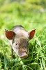 front view closeup of black and white piglet in the grass on a sunny day (hueymilunz) Tags: nature nz newzealandtransition rural farm newzealand fauna florafauna life green light grass season