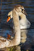 Cygnet & Swan (deltic17) Tags: swan swans cygnet bird wildlife wild country countryside lake river winter reflection rspb canon photography photo