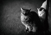 (Jen MacNeill) Tags: cat cats feline kitty kitties pet animal bnw blackandwhite barn farm tabby littledoglaughednoiret