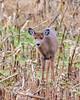 11192017-200-1_edited (bjf41) Tags: deer white tail whitetail nikon nikond600 d600