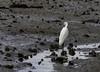 20171225-0I7A4942 (siddharthx) Tags: singapore sg redearedslider sungeibulohwetlandreserve canon7dmkii ef100400mmf4556lisiiusm nature wildlife migratorybirds whitebreastedwaterhen milkystork whimbrel commongreenshank commonredshank lessersandplover curlewsandpiper chineseegret greatercrestedtern orientalpiedhornbill collaredkingfisher orientaldollarbird greyheron vulnerable mangroves wetlands marsh nparksbuzz tree water mangrove bird landscape paintedstork purpleheron sky animal greategret snowyegret habitat nightheron forest wood monitor watermonitor lizard saltwatercrocodile grass malayanwatermonitor asianwatermonitor commonwatermonitor twobandedmonitor ricelizard ringlizard plainlizard nomarklizard periophthalmusargentilineatus rock river foliage gerridae waterstrider pondskaters waterskippers jesusbugs birdsinflight birdsinthewild wetland egret crab