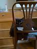 Batman (rootcrop54) Tags: batman tuxedo longhair longhaired male furry fluffalicious whiskers chair back cutouts neko macska kedi 猫 kočka kissa γάτα köttur kucing gatto 고양이 kaķis katė katt katze katzen kot кошка mačka gatos maček kitteh chat ネコ cc100 cc200