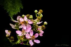 Abeja en las Flores de la Zarzamora (Javier A. Villagra) Tags: canon 800d t7i efs18135mmf3556isstm elbolson rionegro patagonia argentina abeja macro