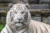 2017-05-04-Pairi_Daiza-0936.jpg (BZD1) Tags: bengaalsetijger natuur bigcat tiger nature bengaltiger pairidaiza cat whitetiger wittetijger carnivore mammal animal brugelette wallonie belgië be