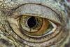 Eye Spy (jellyknife~) Tags: iguana eye macro iris pupil lizard skin scutes scales eyeball