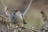 Happy New year to all my flickr friends and may 2018 bring you lots of happy snapping (stellagrimsdale) Tags: sparrow bird bokeh bokehlicious twigs branch branches newyear birds birdseye beak feathers