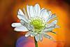 Happy New Year - 2018 (deanrr) Tags: flower nature bokeh brightbackground colors orange orangebokeh morgancountyalabama alabama 2018 happynewyear newyear whiteflower macro