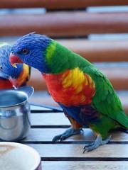 Rainbow Lorikeet (Val in Sydney) Tags: bird oiseau perroquet parrot rainbow nsw sydney australia australie lorikeet