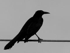 Black bird (Neo-noir) Tags: flight bird animal wing negro raven