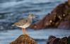 Redshank 15-Nov-17 M_001 (gomo.images) Tags: 2017 aberdeenshire bird country nature redshank scotland stonehaven years