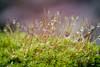 (kly420) Tags: img76785 canonef100mmf28lmacroisusm moss moos macro wassertropfen waterdrop dof