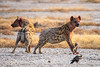 Spotted Hyenas (ch.gunkel) Tags: africa afrika etoscha etosha hyäne namibia natur savanne tierwelt hyena nature savanna wildlife