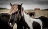 Horses of Iceland.jpg (Luca's_Photography) Tags: blackandwithe horses horsesoficeland iceland island islandpferde nature outdoor pferde veröffentlicht
