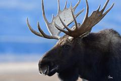 Big Bull Moose Portrait - 4124b+ (teagden) Tags: bull moose bullmoose portrait mooseportrait jenniferhall jenhall jenhallphotography jenhallwildlifephotography wildlifephotography wildlife nature naturephotography wyoming wyomingwildlife photography wild nikon