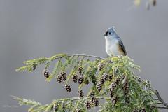 Titmouse (frdjohns) Tags: 600mm meadville nikon avian birds nature wild wildlife