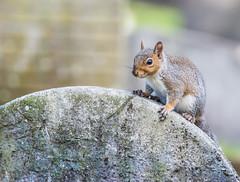 Tombstone Guardians (Coisroux) Tags: squirrel wildlife closeup eyes tombstone guardians d5500 nikond bromptoncemetery furry textures dof portrait 7dwf