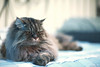 IMG_0235 (mau-daban) Tags: taiwan 台灣 貓 貓咪 喵 喵咪 canon canon5d3 ef50mmf12l 室內 動物 寵物