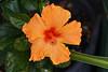 Red core (Pensive glance) Tags: hibiscus flower fleur plant plante