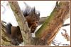Ecureuil 171220-01-P (paul.vetter) Tags: écureuil sciuridé rongeur mammifère squirrel ardilla eichhörnchen