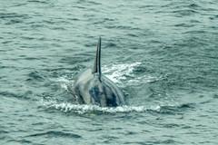 Orca (Warp Factor) Tags: alaska canont4i summer2017 tamron150600mm cruise cruiseship ship vacation orca killerwhale alaskacanont4isummer2017tamron150600mmtamron2470mmf28cruisecruiseshipshipvacation