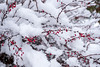 Hanging in there (Culinary Fool) Tags: december 2017 wa winter culinaryfool 1655mm whitechristmas brendapederson broadview washington christmas seattle snow