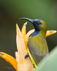 Olive-backed Sunbird (Male) (Chris.Kookaburra) Tags: cinnyrisjugularis nectariniajugularis birds olivebacked sunbird olivebackedsunbird avian ornithology birdwatching