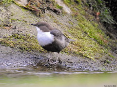 Black-bellied Dipper (Corine Bliek) Tags: vogel vogels birds birding bird insectivorous waterval water stream stroom nature natuur wildlife winter