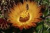 Ferocactus flower (Runabout63) Tags: ferocactus bee cactus cacti flower