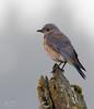Western Bluebird (dennis_plank_nature_photography) Tags: avianphotography thurstoncounty westernbluebird birdphotography naturephotography wa washington avian birds home littlerock