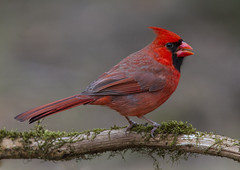 Northern Cardinal, male (AllHarts) Tags: malenortherncardinal backyardbirds memphistn thesunshinegroup naturesspirit alittlebeauty naturescarousel ngc avianexcellence npc coth coth5 keepyoureyesopen treasuresofkeepyoureyesopen challengeclubchampions