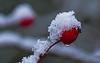 The transience of the moment (Lutz Koch) Tags: hagebutte schnee rosehip snow rot red elkaypics lutzkoch natur nature idsteinerland taunus winter tropfen drop