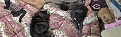 Cat Panorama (sjrankin) Tags: 4january2018 edited animal cat bonkers argent norio tigger yuba futon blanket floor panorama yubari hokkaido japan