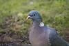 Ringeltaube auf Futtersuche - Wood pigeon searching for food (riesebusch) Tags: berlin garten marzahn vögel