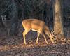 Winter buck (Lindell Dillon) Tags: goldenhour buck deer whitetail wildife nature oklahoma crosstimbers wildoklahoma