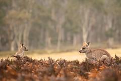 Eastern Grey Kangaroos (Caleb McElrea) Tags: borderfx kanangraboyd kanangraboydnationalpark bluemountains worldheritagearea unesco greatdividingrange newsouthwales nsw australia nature wilderness
